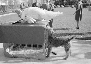 Charlie, the Kennedy family dog, was curious about the Thanksgiving turkey traditionally presented to Presidents in 1963. Two years earlier, Jackie Kennedy hosted a birthday party for the dog over the Thanksgiving weekend. (JFKL)